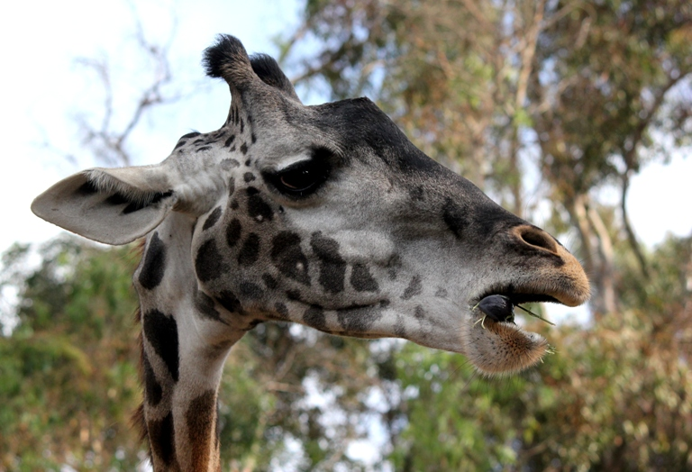 giraffe speak, fat?