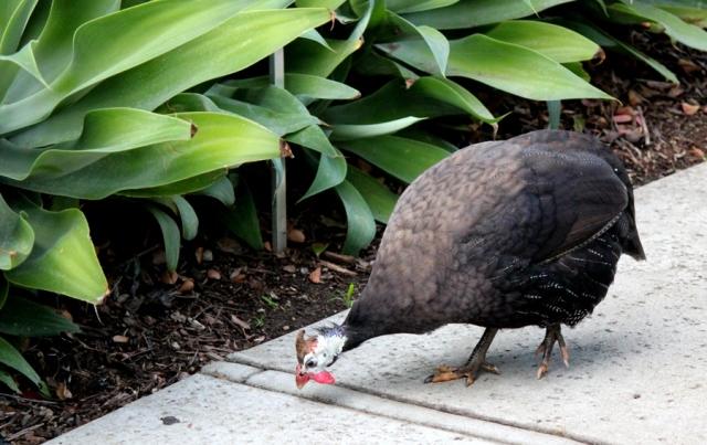 Guinea fowl punk rocker
